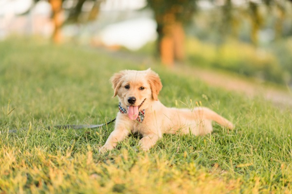 Golden Retriever puppy lying on grass