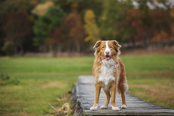 gorgeous dog photography, Duck Tolling Retriever, fall foliage