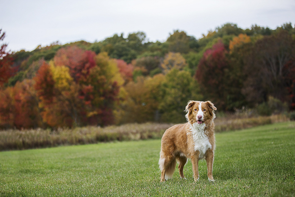 Toller, autumn leaves, New England foliage