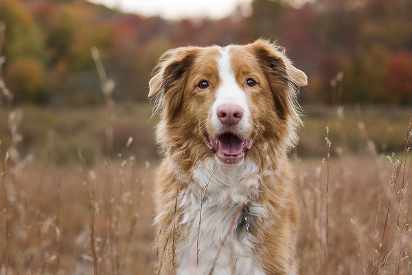 Toller close -up, on location dog photography