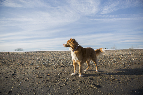 winter dog photography, Toller
