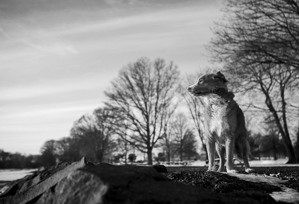 handsome Toller in black and white
