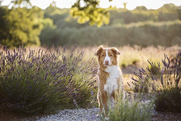 Toller, lavender field