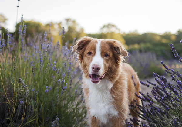 handsome Toller, Lavender, handsome dog