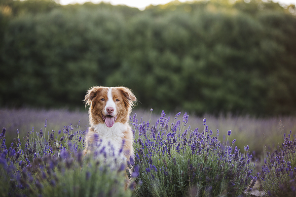 handsome dog sitting lavender, Toller,