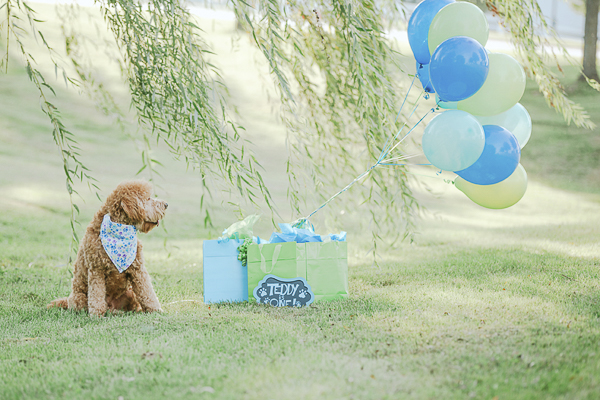 Golden doodle, green blue balloons, birthday presents, weeping willow