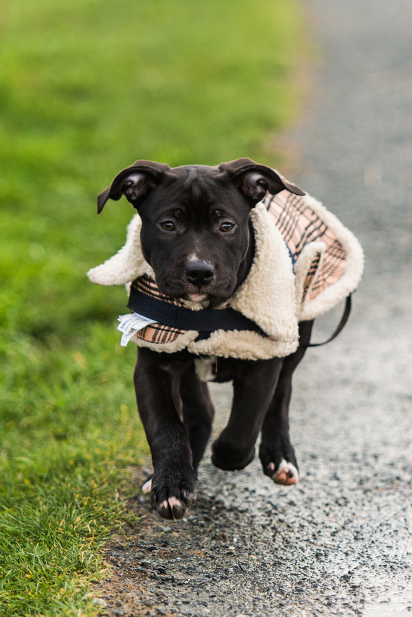 mixed breed puppy running down road, puppy in plaid jacket