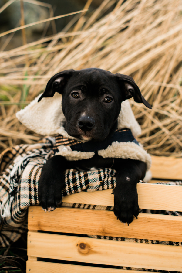 Lab mix puppy in wooden crate, outdoor dog photography