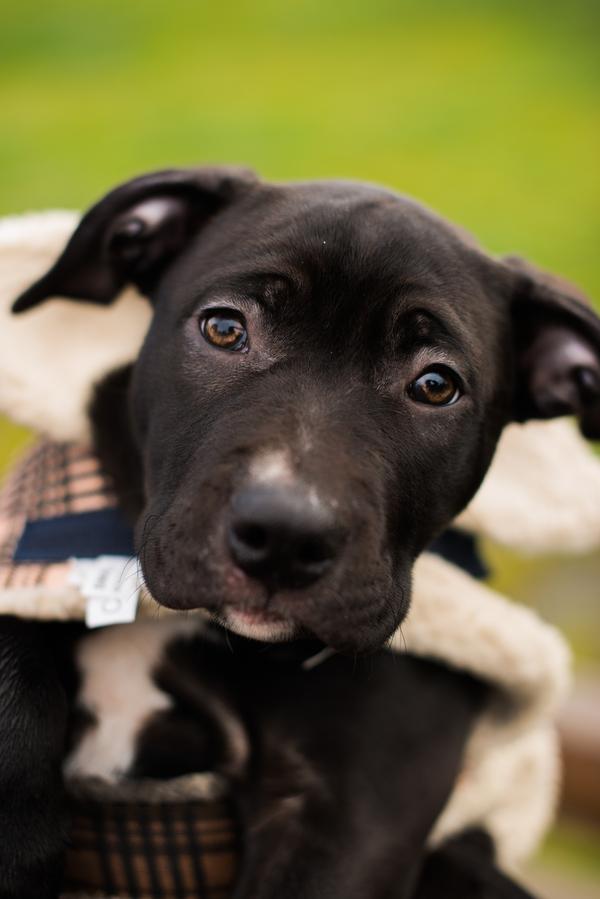 dark brown adorable lab/American Bulldog cross
