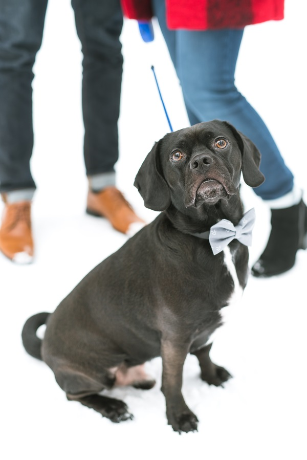 black Puggle in snowy engagement photos