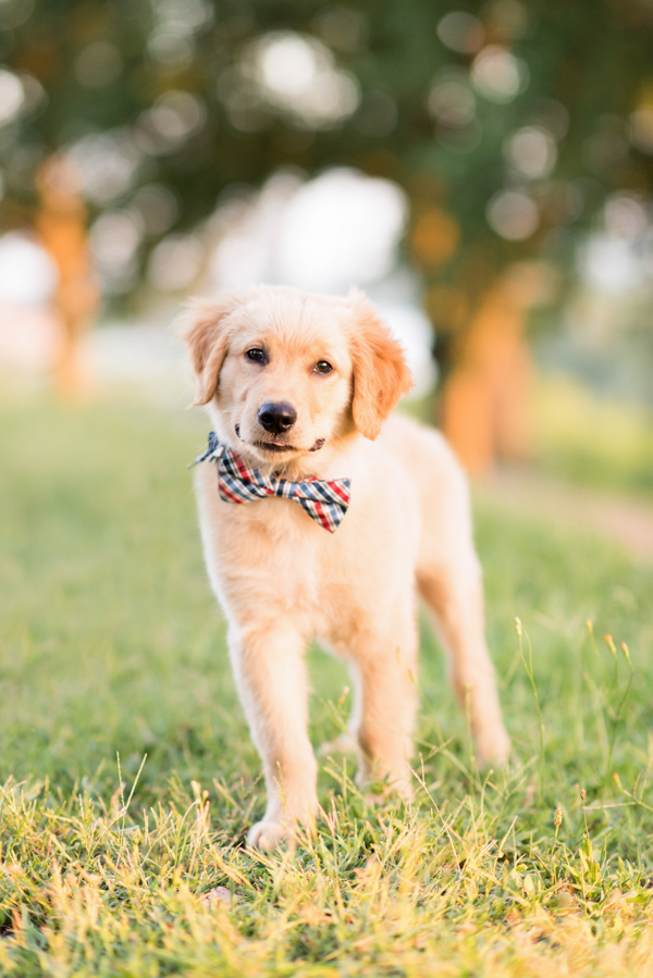 cute 12 week Golden Retriever puppy wearing bow tie