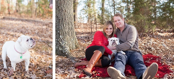 White English Bulldog, fall engagement photos