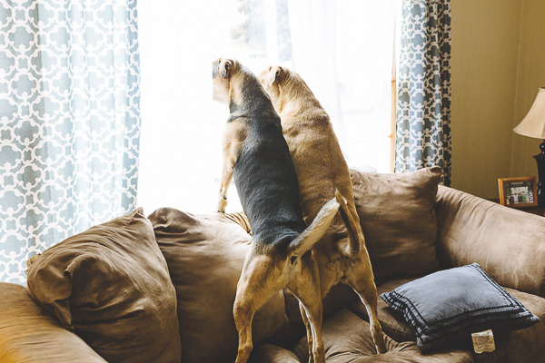dogs on sofa looking out window