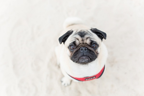 Pug Lola sitting on sand, lifestyle dog photography
