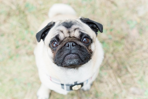 cute Pug looking up at camera, Puppy dog eyes, modern dog photography