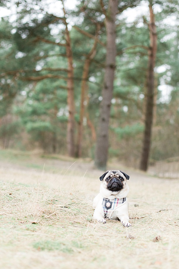 Pug in front of trees, lifestyle dog photography