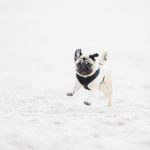 Pug Lola running on beach