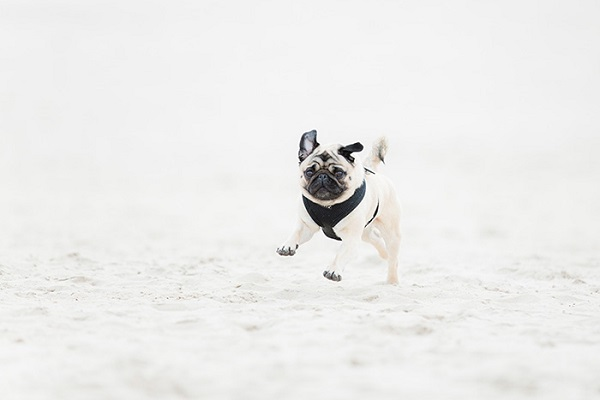Pug running on beach, lifestyle dog photography, on location dog portraits