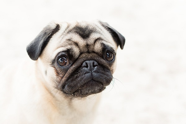 cute Pug close up, fine art dog photography