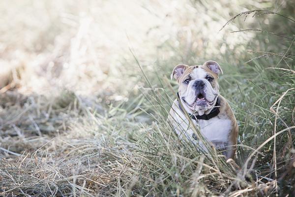 English Bulldog puppy sitting in field