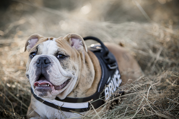 English Bulldog lying in field