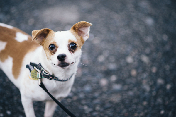 brown and white Chihuahua mix on leash