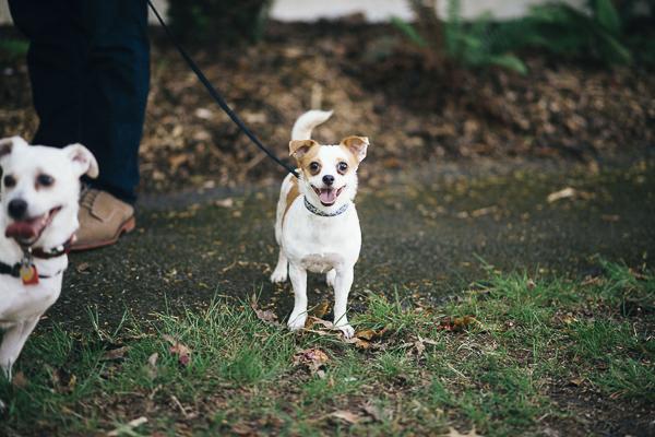 Happy Chi mix on leash