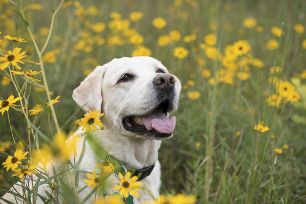 Yellow lab in yellow flowers , retrievers in field