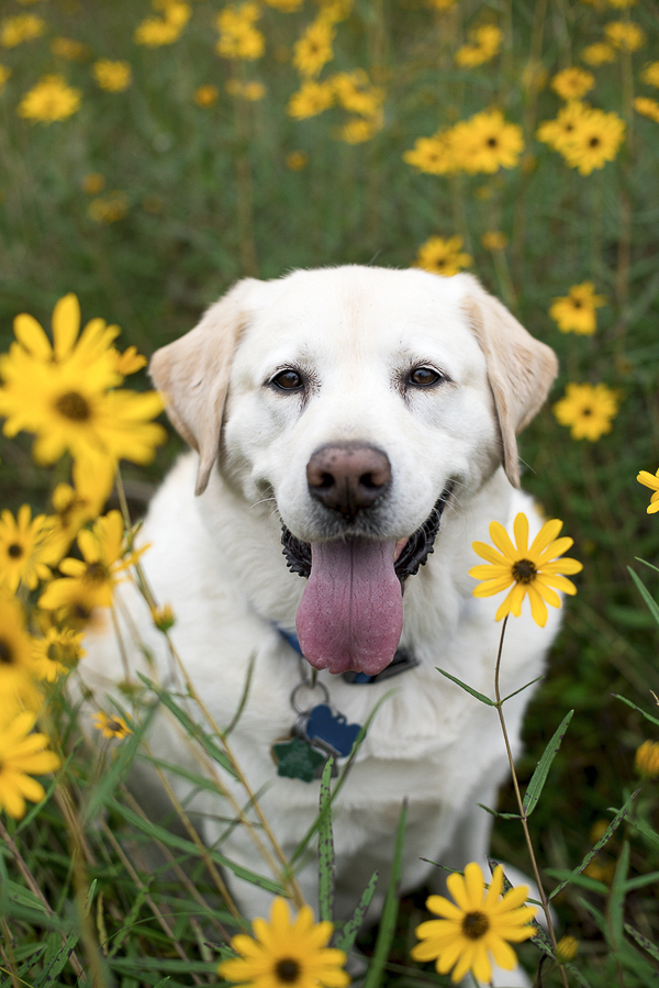 yellow lab in flowers