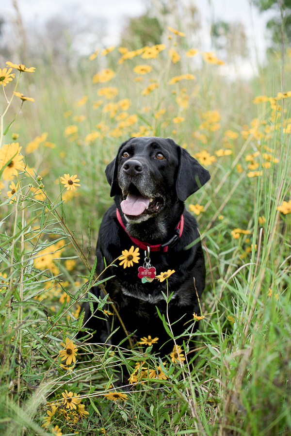 happy black Labrador retriever sitting in flowers