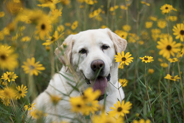 sweet yellow lab sitting in flowers