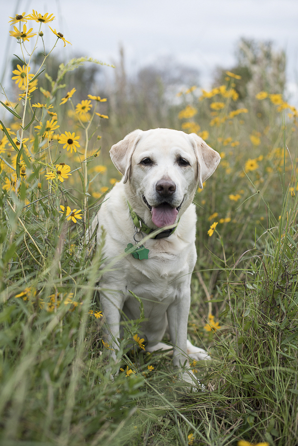 yellow lab sitting in patch of black eyed susans, wildflowers and dogs