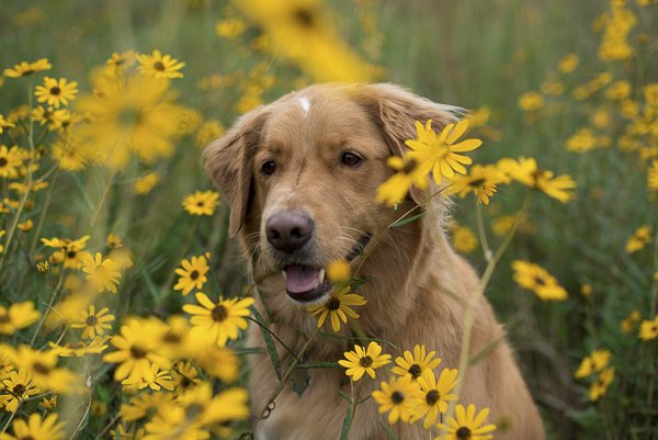 golden retriever in wildflowers