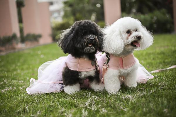 Best Dogs: Poodles Minnie and Winnie