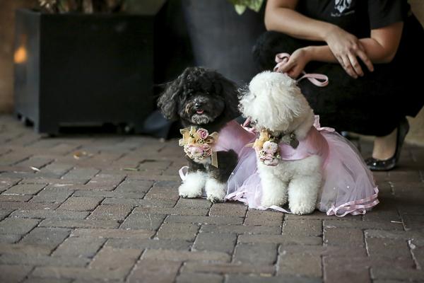 black dog and white dog wearing bridesmaid dresses, mini poodles during wedding ceremony,