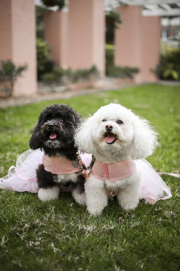 poodles in blush pink, best dogs in wedding