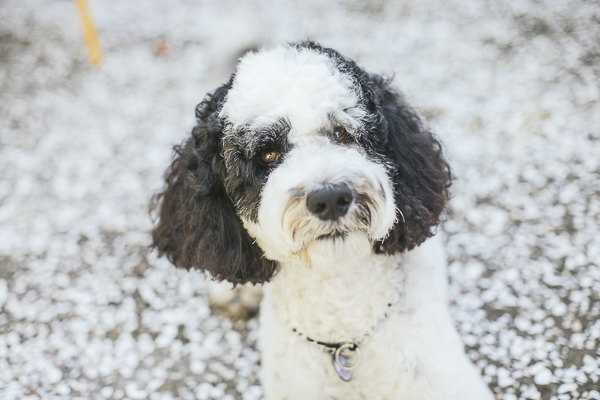 Portuguese Water Dog-Therapy Dog