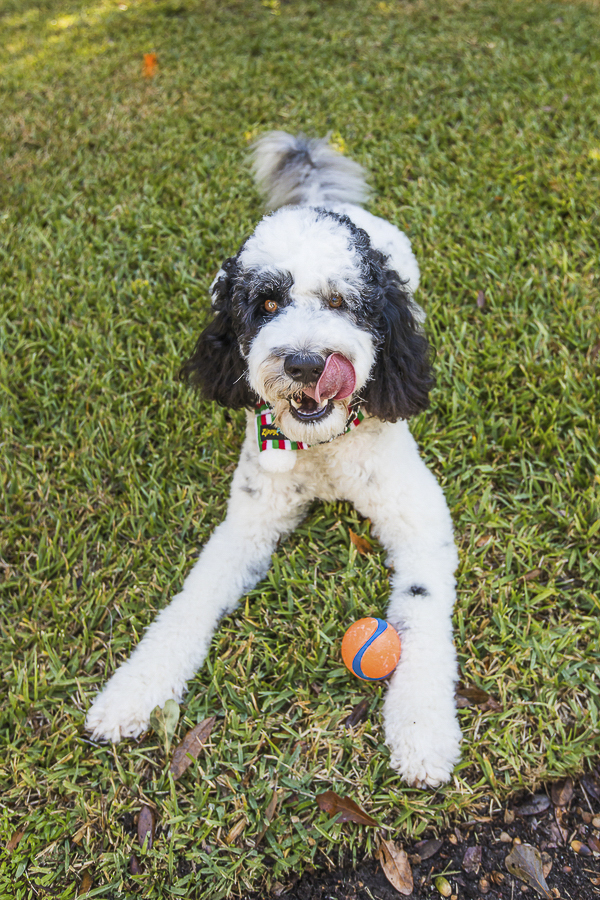 dog lying on grass with ball