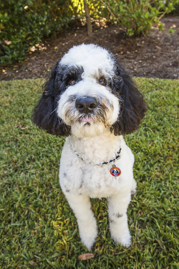 adorable Therapy Dog, Portuguese Water Dog