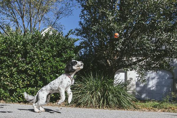 Dog catching Chuck It ball