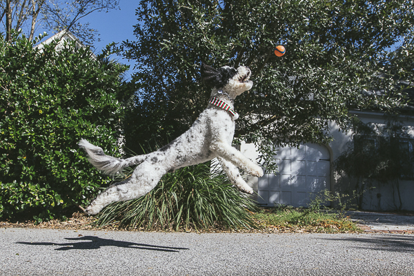 Portuguese Water Dog catching ball