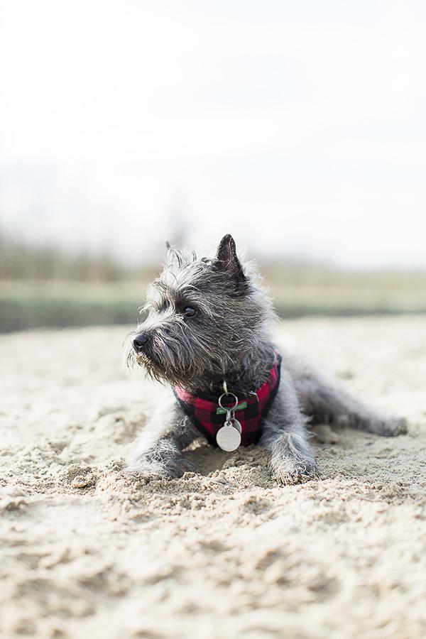 Simple Cairn Terrier Ball Adorable Dog - Anouschka-Rokebrand-Cairn-Terriers-12  Pic_662776  .jpg