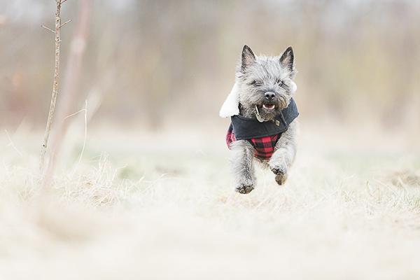 Top Cairn Terrier Ball Adorable Dog - Anouschka-Rokebrand-Cairn-Terriers-3  Snapshot_43848  .jpg