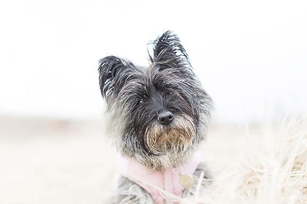 Beautiful Cairn Terrier Ball Adorable Dog - Anouschka-Rokebrand-Cairn-Terriers-4  Pictures_603969  .jpg