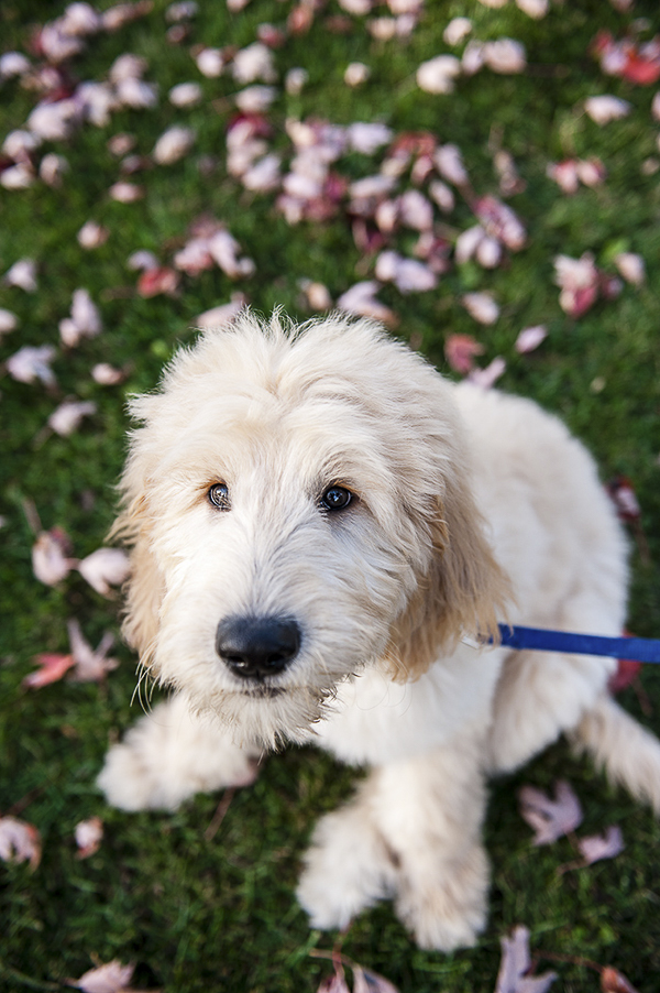 adorable goldendoodle puppy, on location dog photography