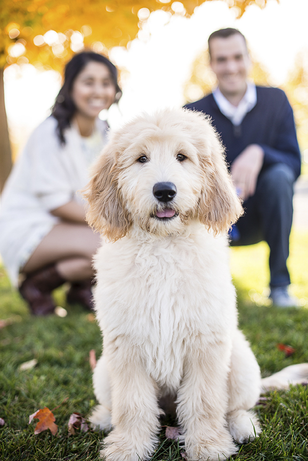 Golden Doodle Puppy with humans in background, modern dog photographer