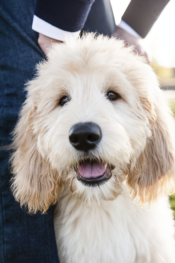 3 month old Goldendoodle puppy