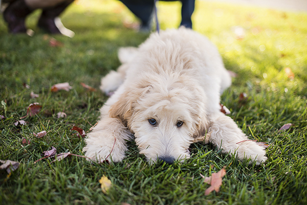 puppy lying on grass, on location dog portraits
