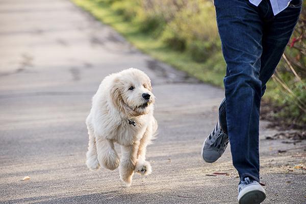 goldendoodle puppy running, golden doodle