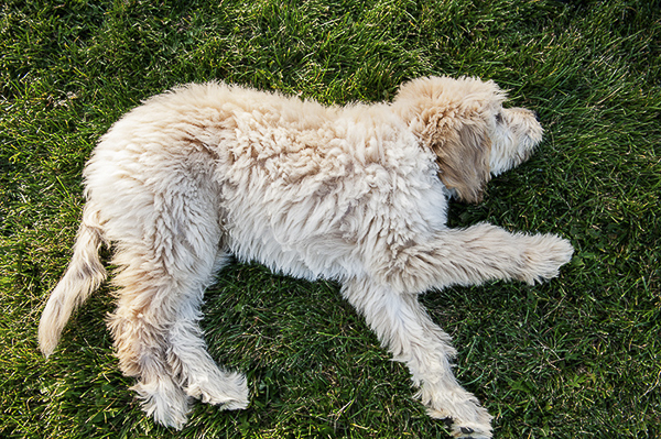 Golden Doodle puppy lying on side in grass, on location dog photographer